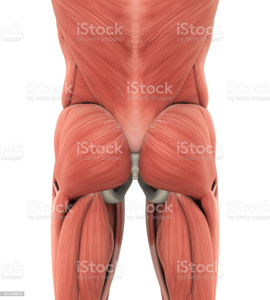 Human Gluteal Muscles Anatomy stock photo