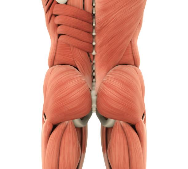 Músculo Abductor Largo - Stock Fotos e Imágenes - iStock