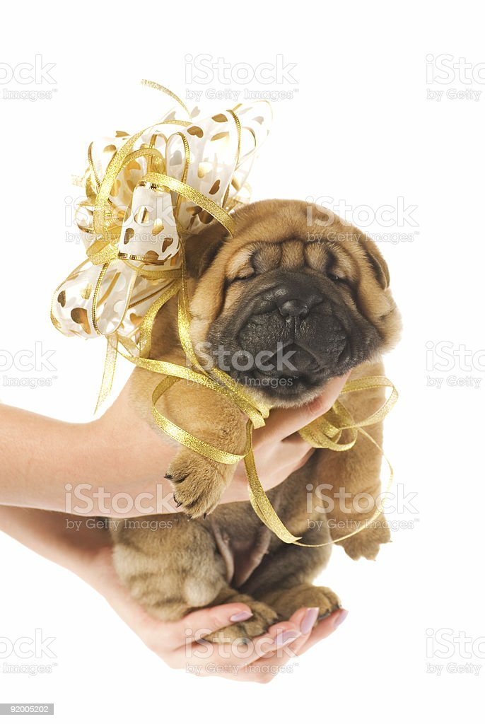 Human hadns holding beautiful sharpei puppie royalty-free stock photo