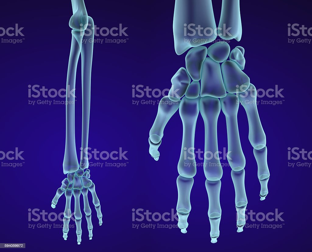 Human hand anatomy. Medically accurate 3D illustration stock photo