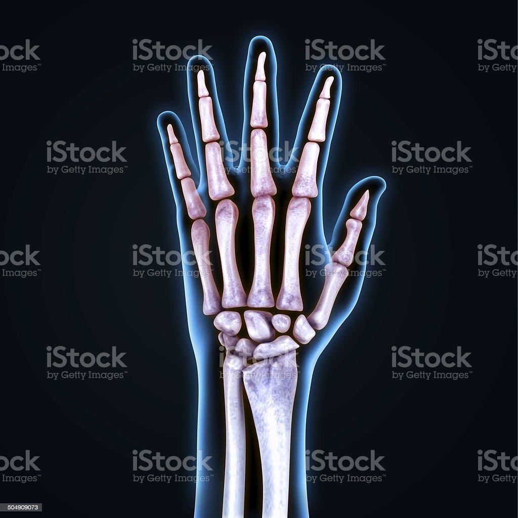 Menschliche Hand Anatomie Stock-Fotografie und mehr Bilder von ...