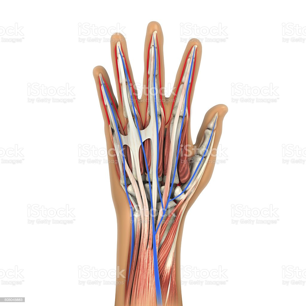 Human Hand Anatomy Stock Photo More Pictures Of Anatomy Istock