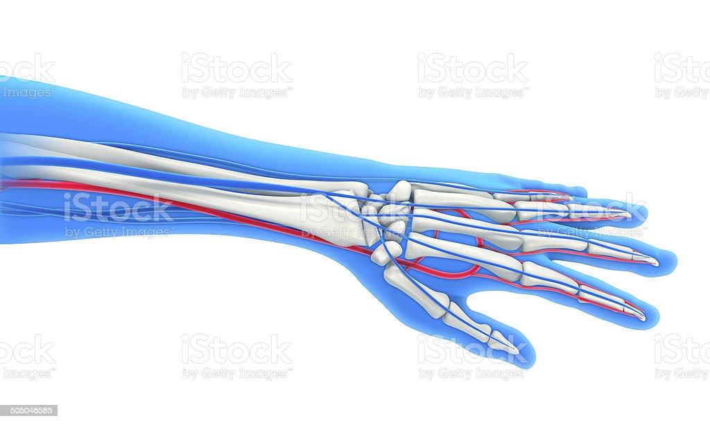 Großzügig Anatomie Einer Menschlichen Hand Fotos - Anatomie Von ...