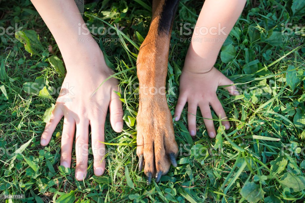 Human hand and dog's forefoot stock photo
