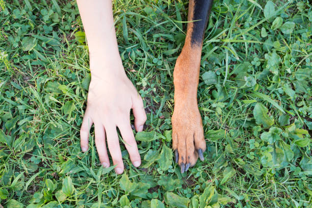 Human hand and dog's forefoot Human hand and dog's forefoot animal hand stock pictures, royalty-free photos & images