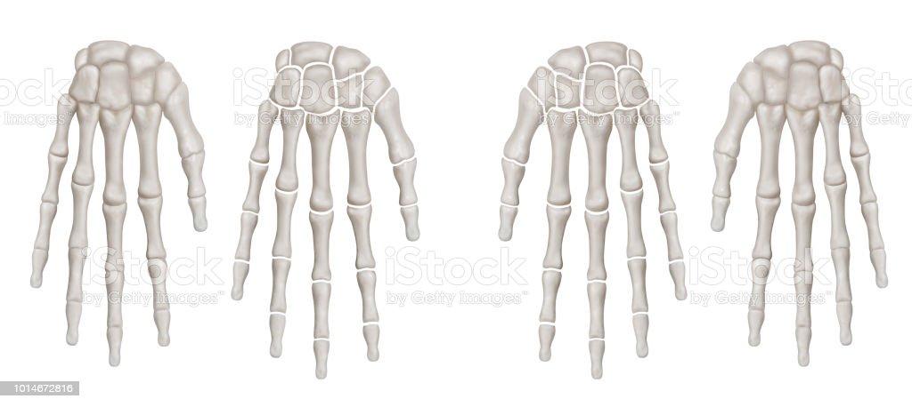 Human Hand Bone And Separate Hand Bone Anterior View 3d