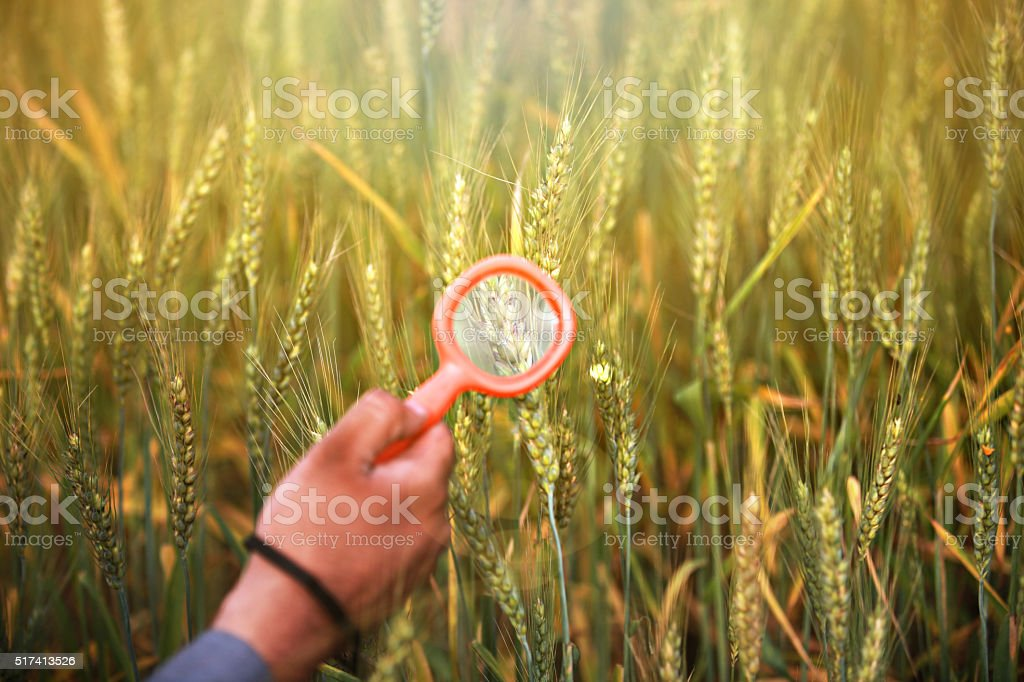 Human hand examining the wheat crop stock photo