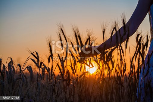 Human hand going through the field of wheat at sunset