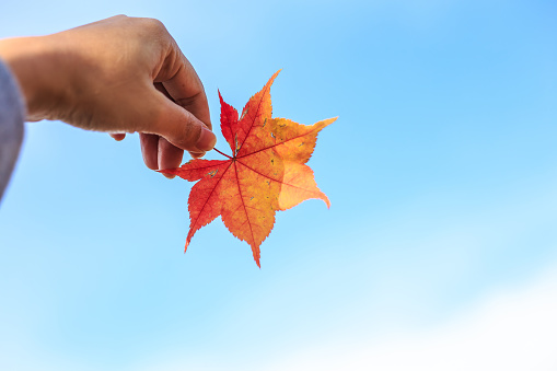 Human hand holding a red autumn maple leaves against the background of a blue sky with white clouds.
