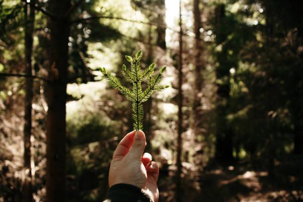 Menschliche Hand hält Blätter eines Nadelbaumes – Foto