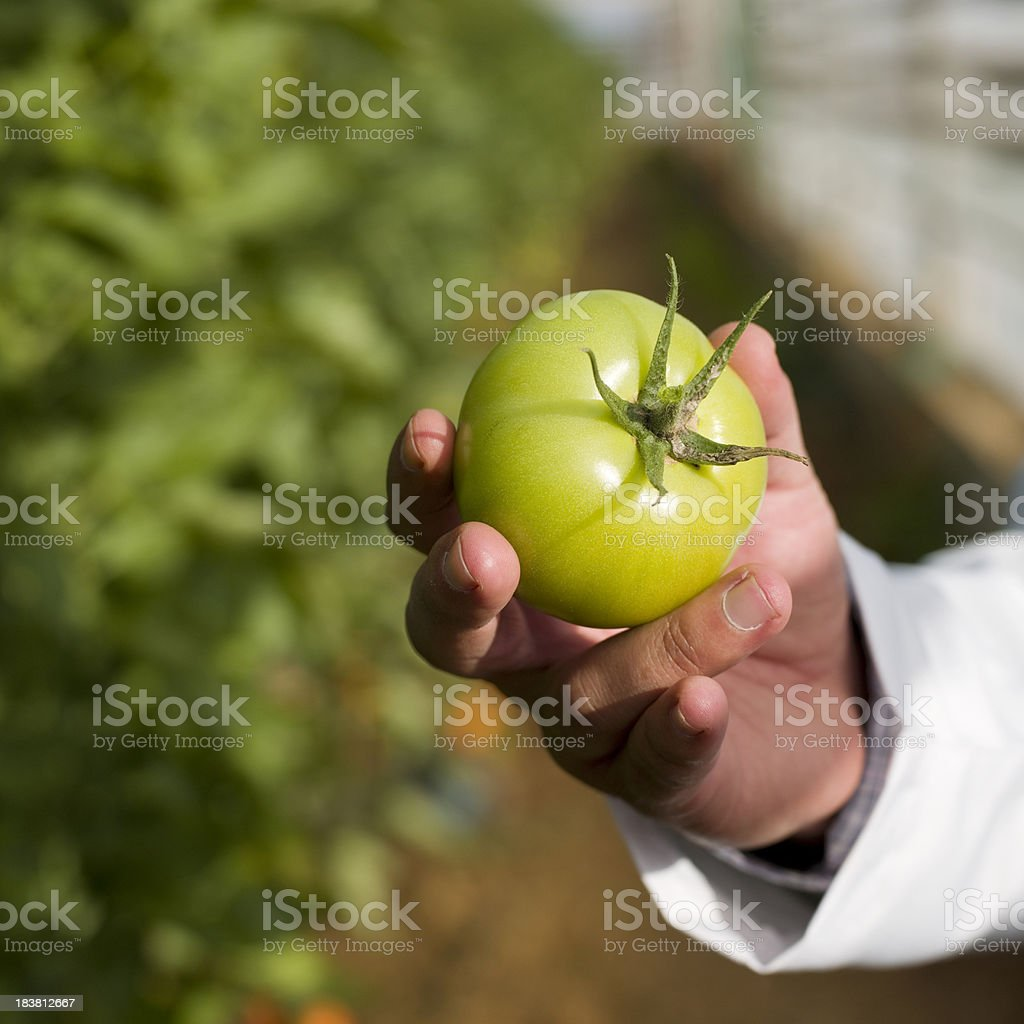 Human hand holding tomato stock photo
