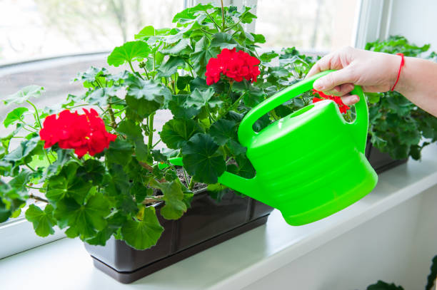 Human hand holding watering can and watering red Geranium flowers pots on windowsill. Indoor. Selective focus. stock photo