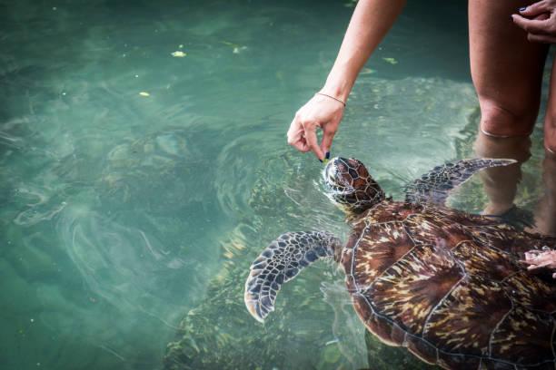 eine menschliche hand ist eine grüne schildkröte füttern. - rettungsinsel stock-fotos und bilder