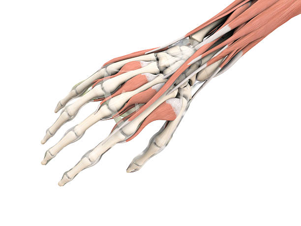 Royalty Free Human Arm Pictures, Images and Stock Photos
