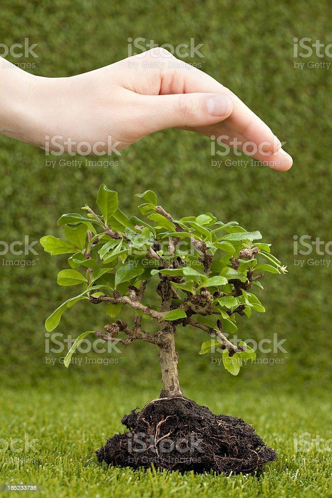 human hand protecting bonsai tree royalty-free stock photo