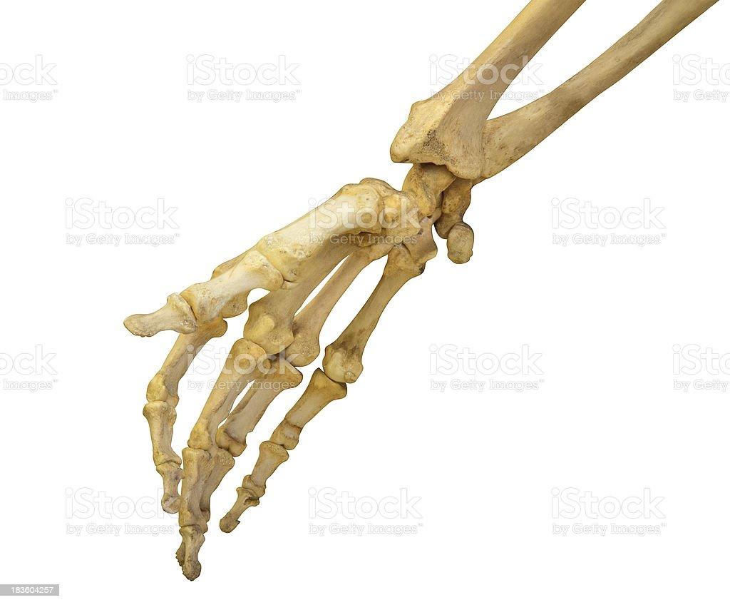 Menschliche Hand Skelett Auf Weiß Stock-Fotografie und mehr Bilder ...