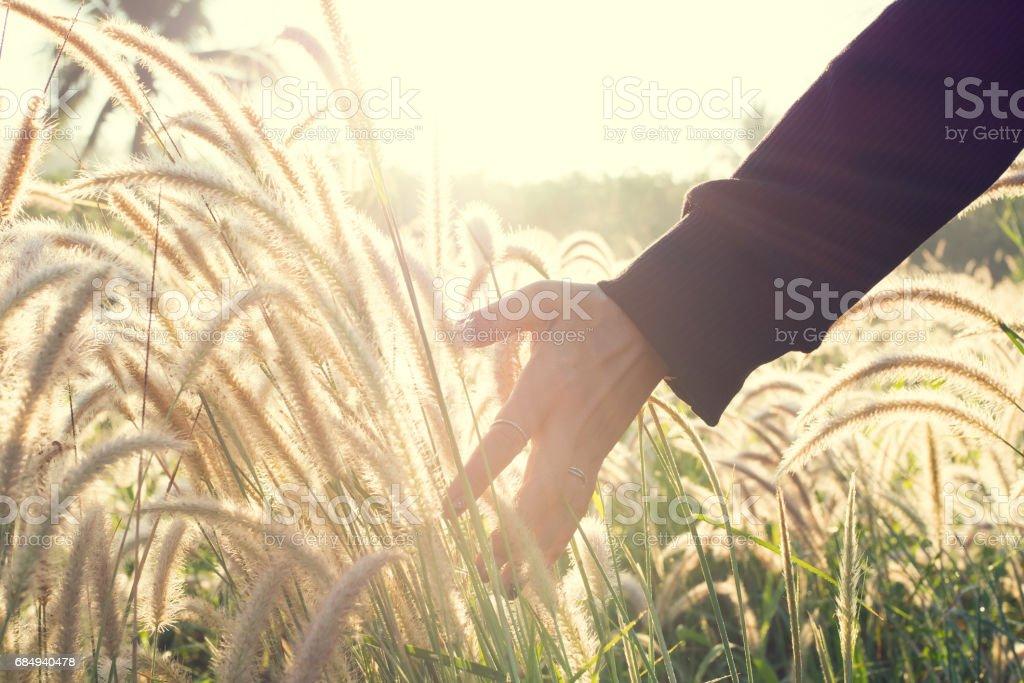 human hand touching grass flower with golden sunlight. Lizenzfreies stock-foto