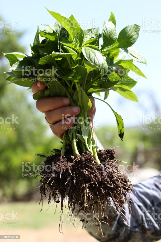 Human hands and pepper seedling stock photo