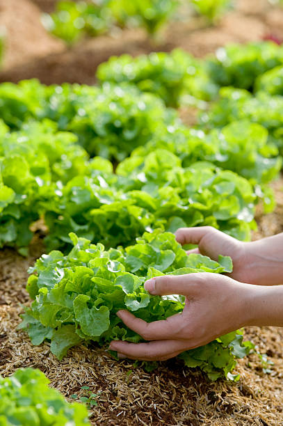 Human hands harvesting a butiful lettuce. Human hands harvesting a butiful lettuce. butterhead lettuce stock pictures, royalty-free photos & images