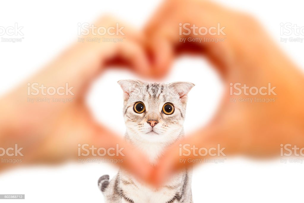 human hands make heart shape and cute cat stock photo