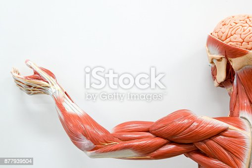 istock Human hands muscle for the education. 877939504