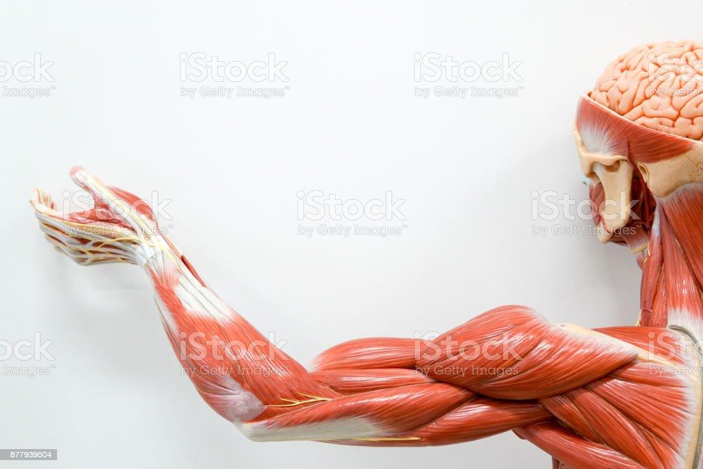 Músculo de mãos humanas para a educação. - foto de acervo