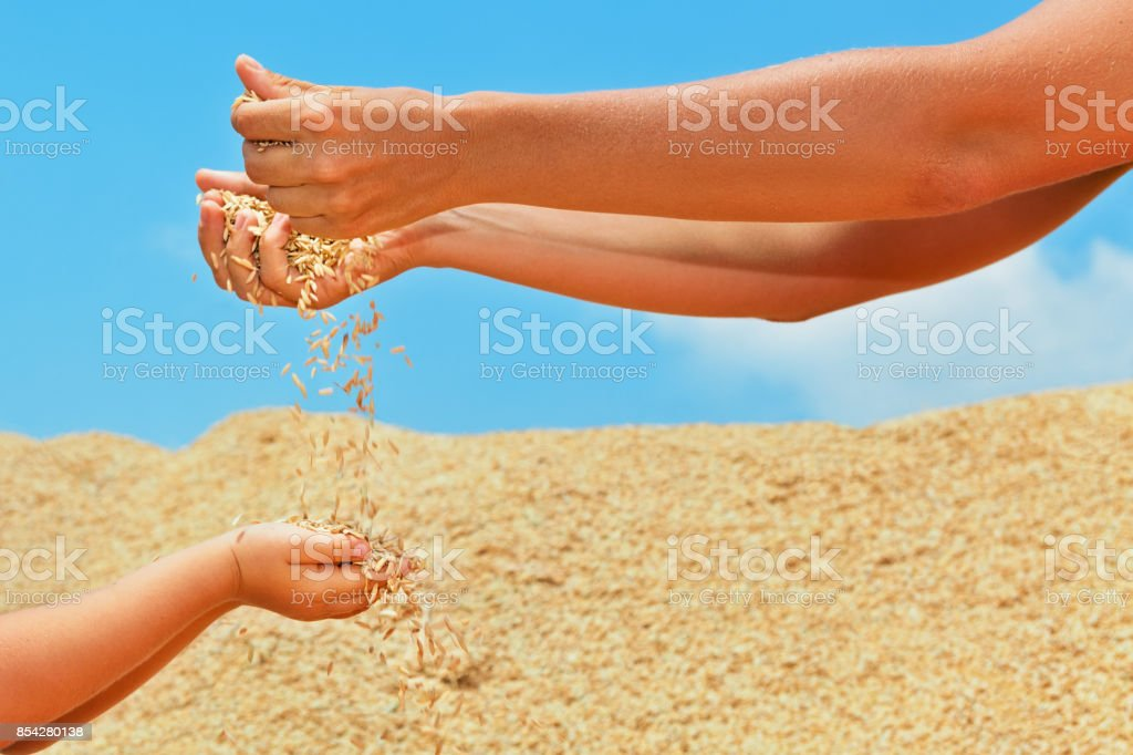 Human hands with grains crop stock photo