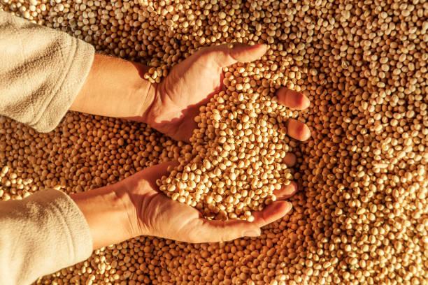 大豆の収穫と人の手。穀物の一握り - 収穫 ストックフォトと画像