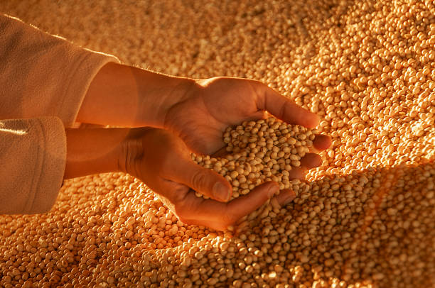 Human hands with soy harvest.