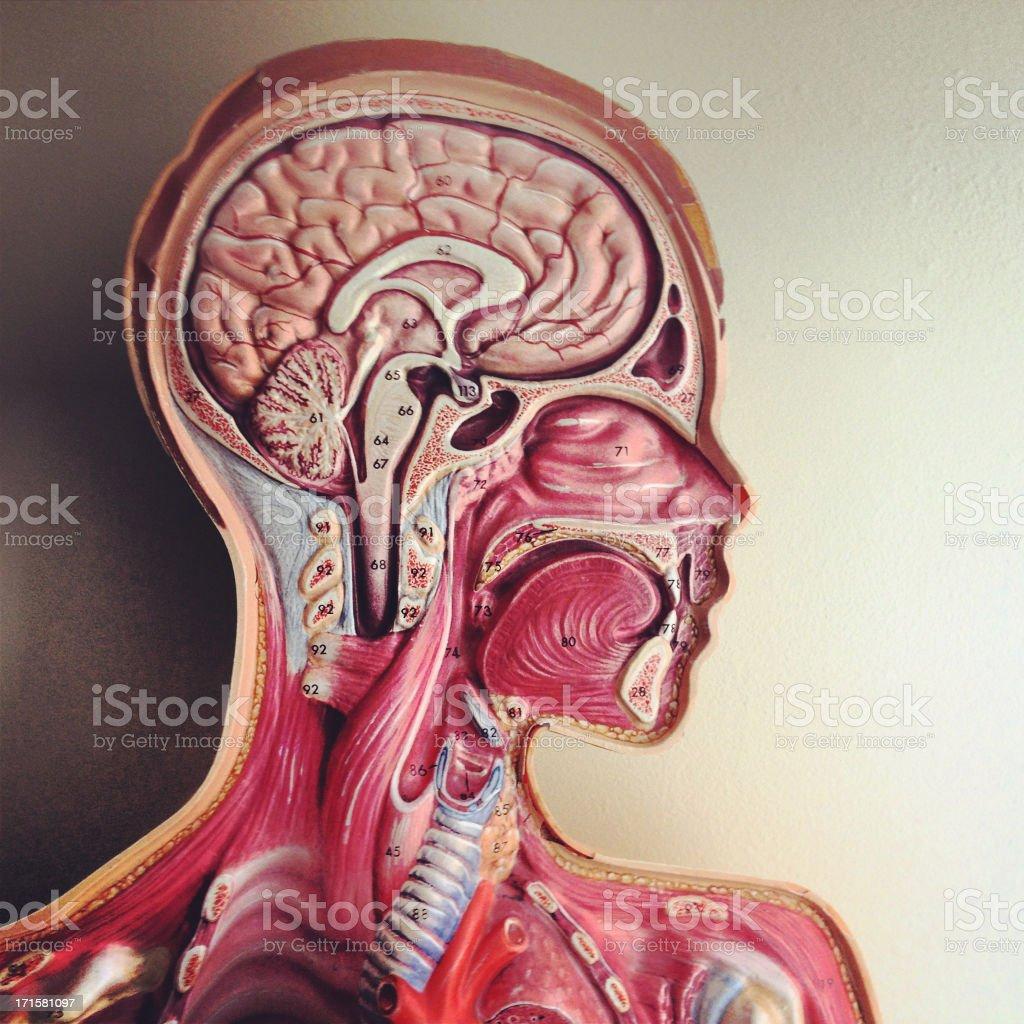 Human Head Anatomy Model Stock Photo More Pictures Of Anatomy Istock