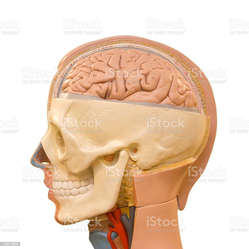 Human Head Anatomy Stock Photo More Pictures Of Anatomy Istock