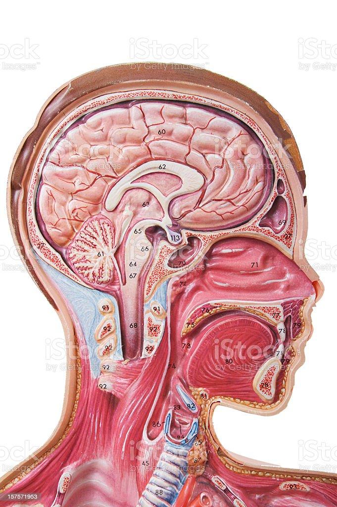 Human Head Anatomy Visual Aid stock photo