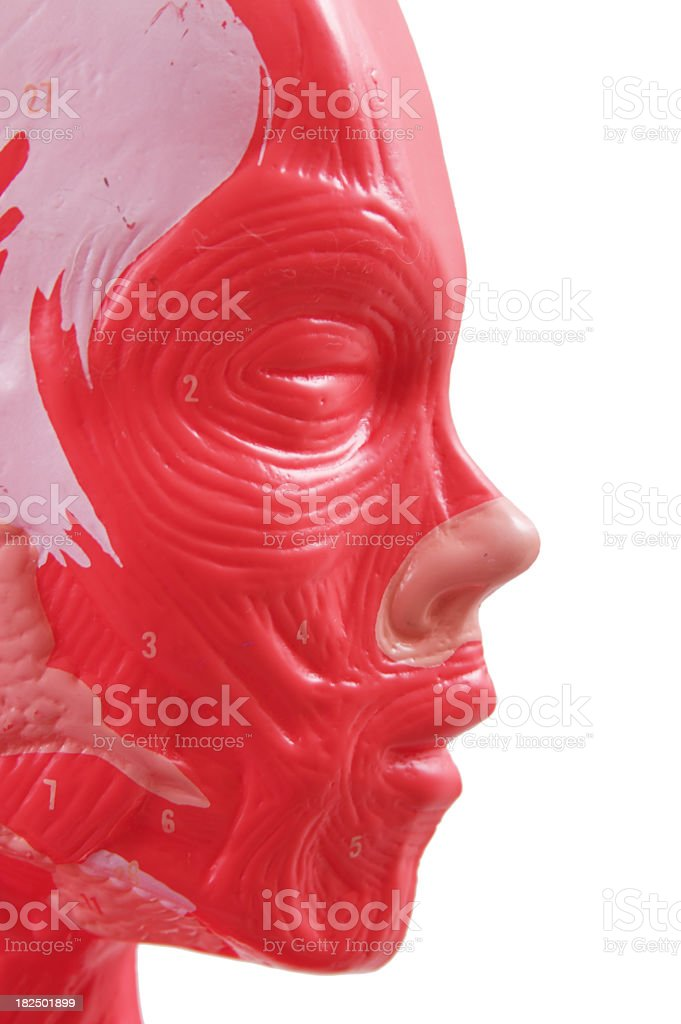 Human Head Anatomy Visual Aid royalty-free stock photo