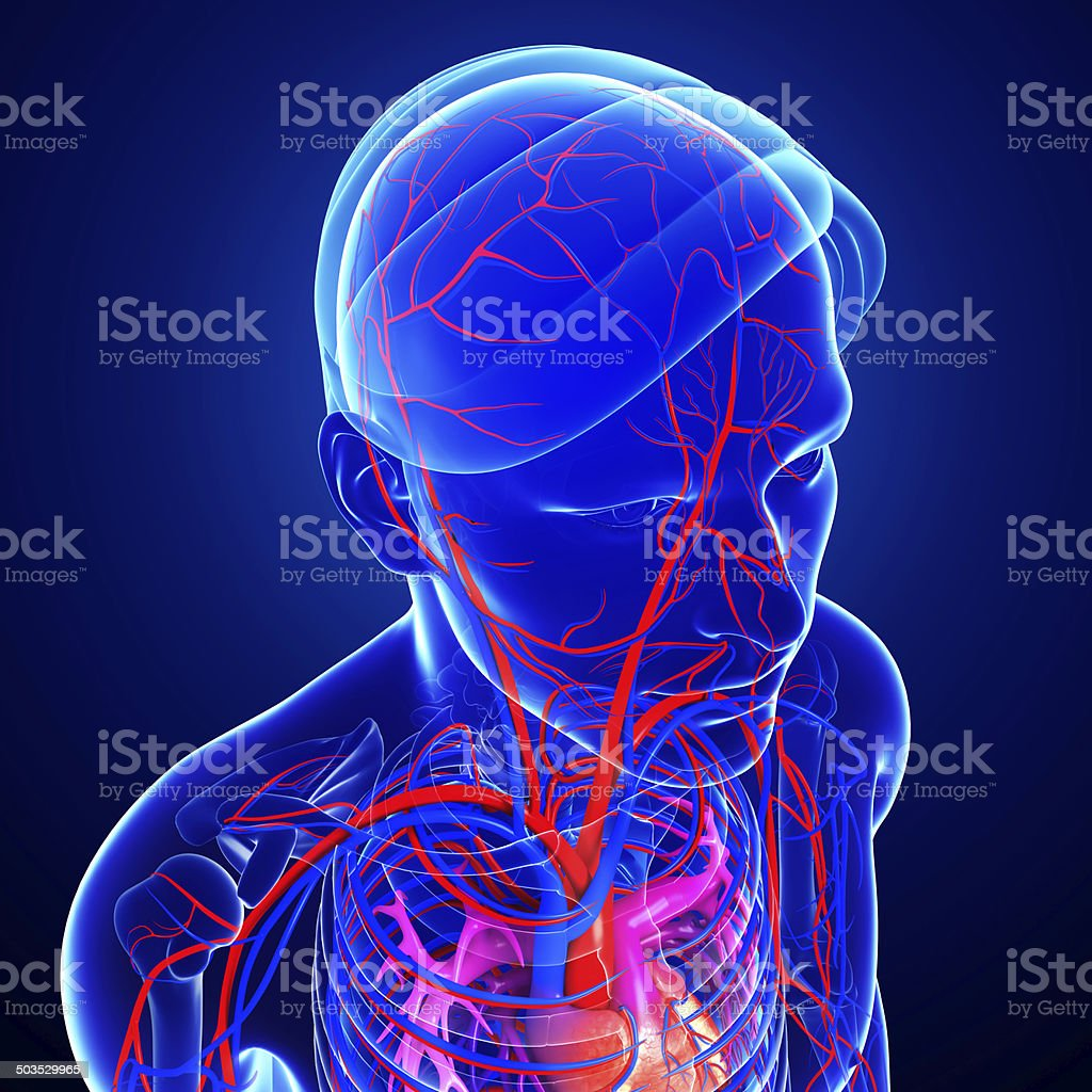 Human head arteries stock photo