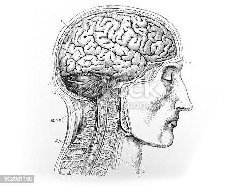 Human Head Brain Spine Medical Diagram Stock-Fotografie und mehr ...