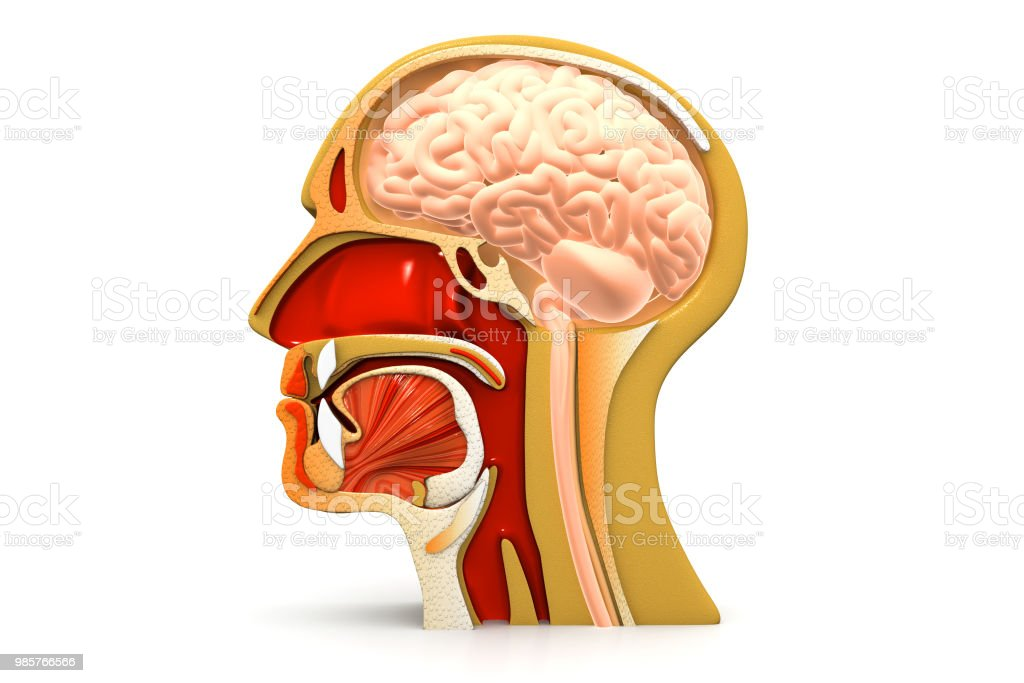 Human Head Cross Section Stock Photo More Pictures Of Anatomy Istock
