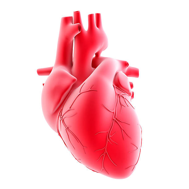 human heart. 3d illustration. isolated, contains clipping path - human heart stock photos and pictures