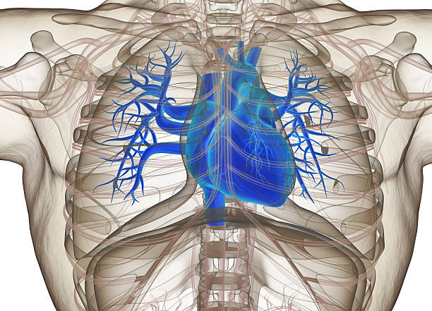 Human heart. 3d illustration. stock photo