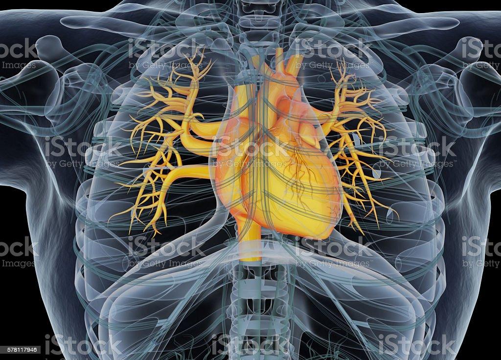 Human heart. 3d illustration. stock photo