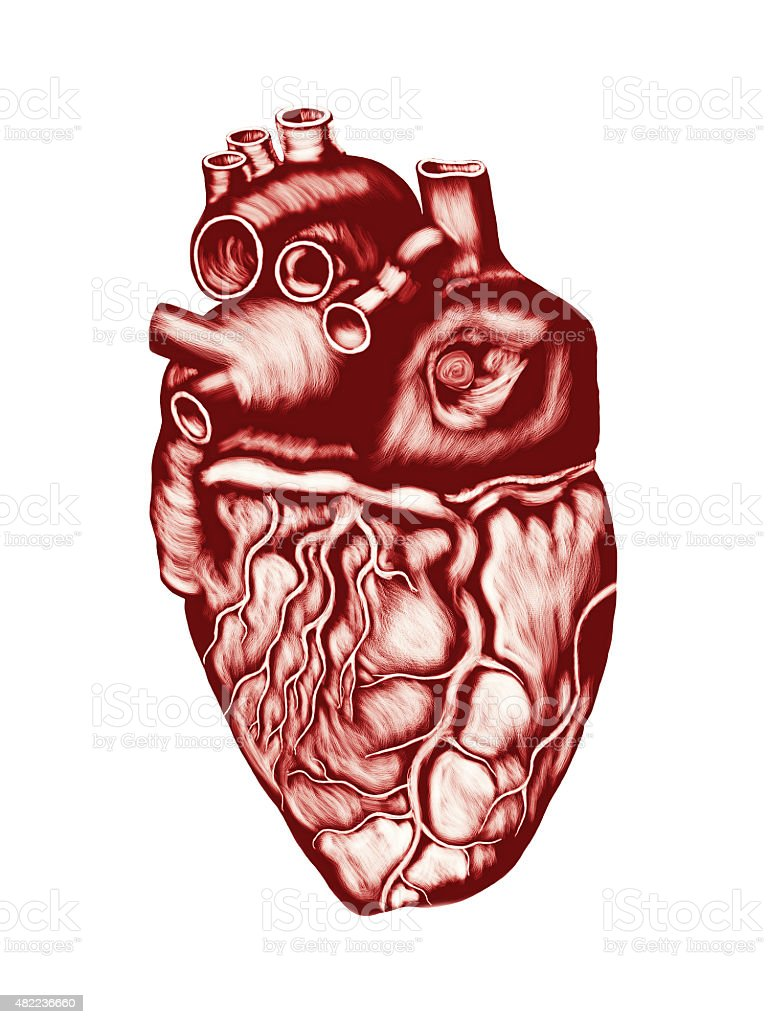 Human Heart Anatomy: chambers, valves and vessels, isolated over white. stock photo