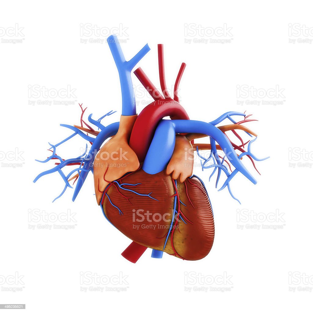 Human heart anatomy illustration on a white background. stock photo