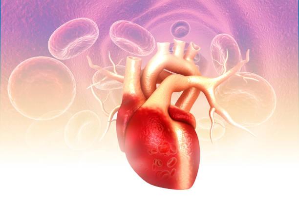 Human heart anatomy on medical background stock photo