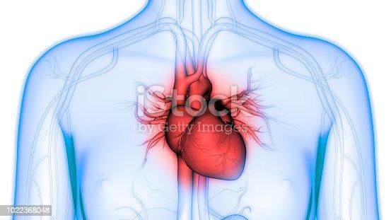 istock Human Heart Anatomy 1022368048