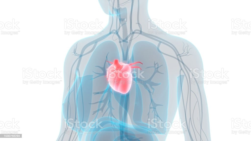 Human Heart Anatomy Stock Photo More Pictures Of Abstract Istock