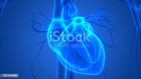 3D Illustration of Human Heart Anatomy