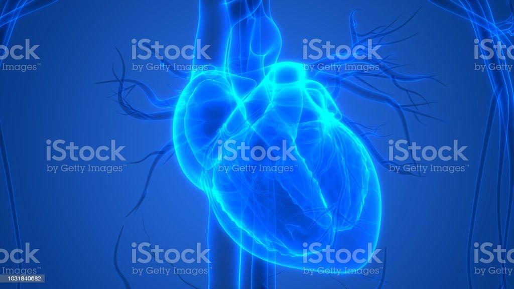 Coeur humain Anatomie - Photo