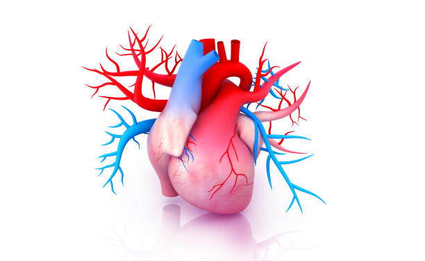 Human heart anatomy Human heart anatomy. 3d illustration lateral ventricle stock pictures, royalty-free photos & images