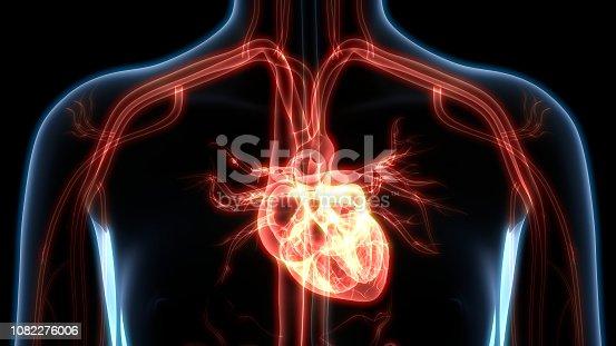 istock Human Heart Anatomy 1082276006