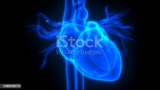 istock Human Heart Anatomy 1086508076