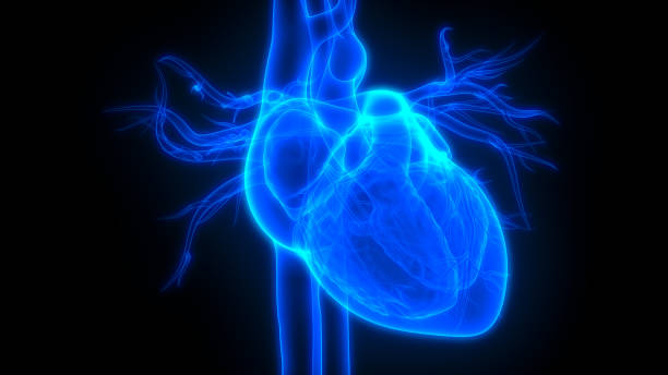 Human Heart Anatomy 3D Illustration of Human Heart Anatomy human heart stock pictures, royalty-free photos & images